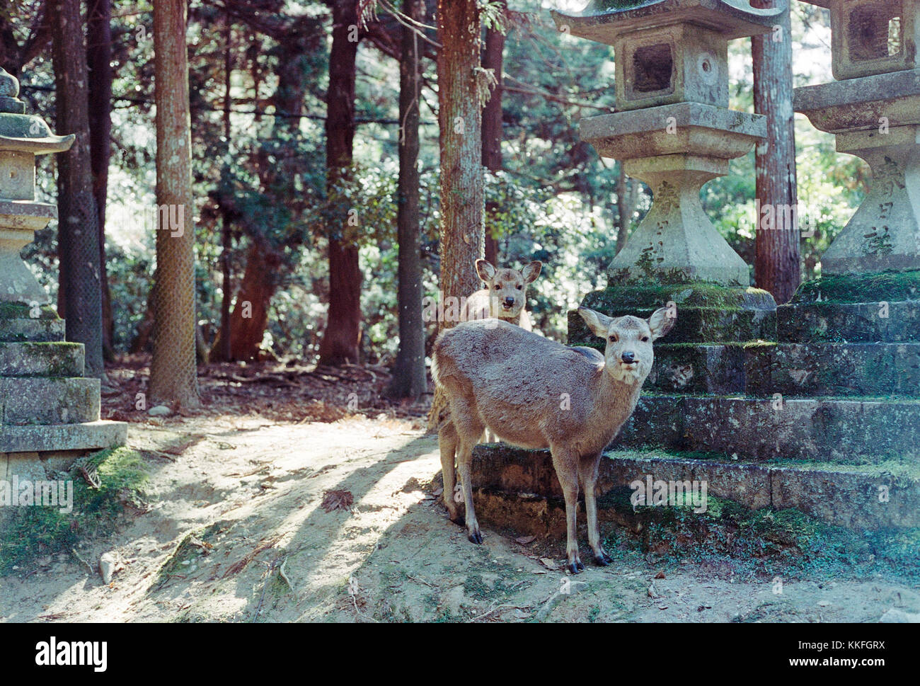 Two Deer in brightly lit forest in Nara, Japan looking friendly at camera - Stock Image