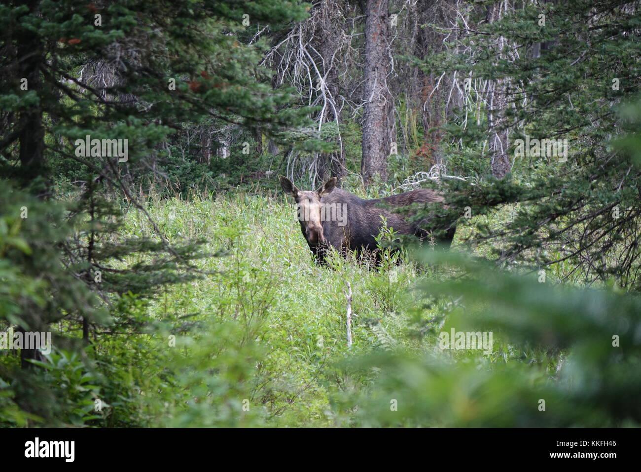 Moose Near Two Medicine Lake, August 2017.  Glacier National Park. - Stock Image