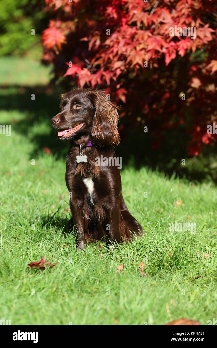 Spaniel - Boykin Boykin Spaniel Sitting looking side - Stock Image