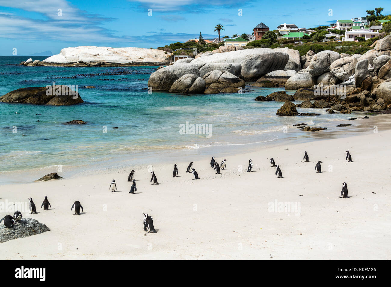 Colony of spectacle penguins, Boulders Beach, Simon's Town, South Africa - Stock Image