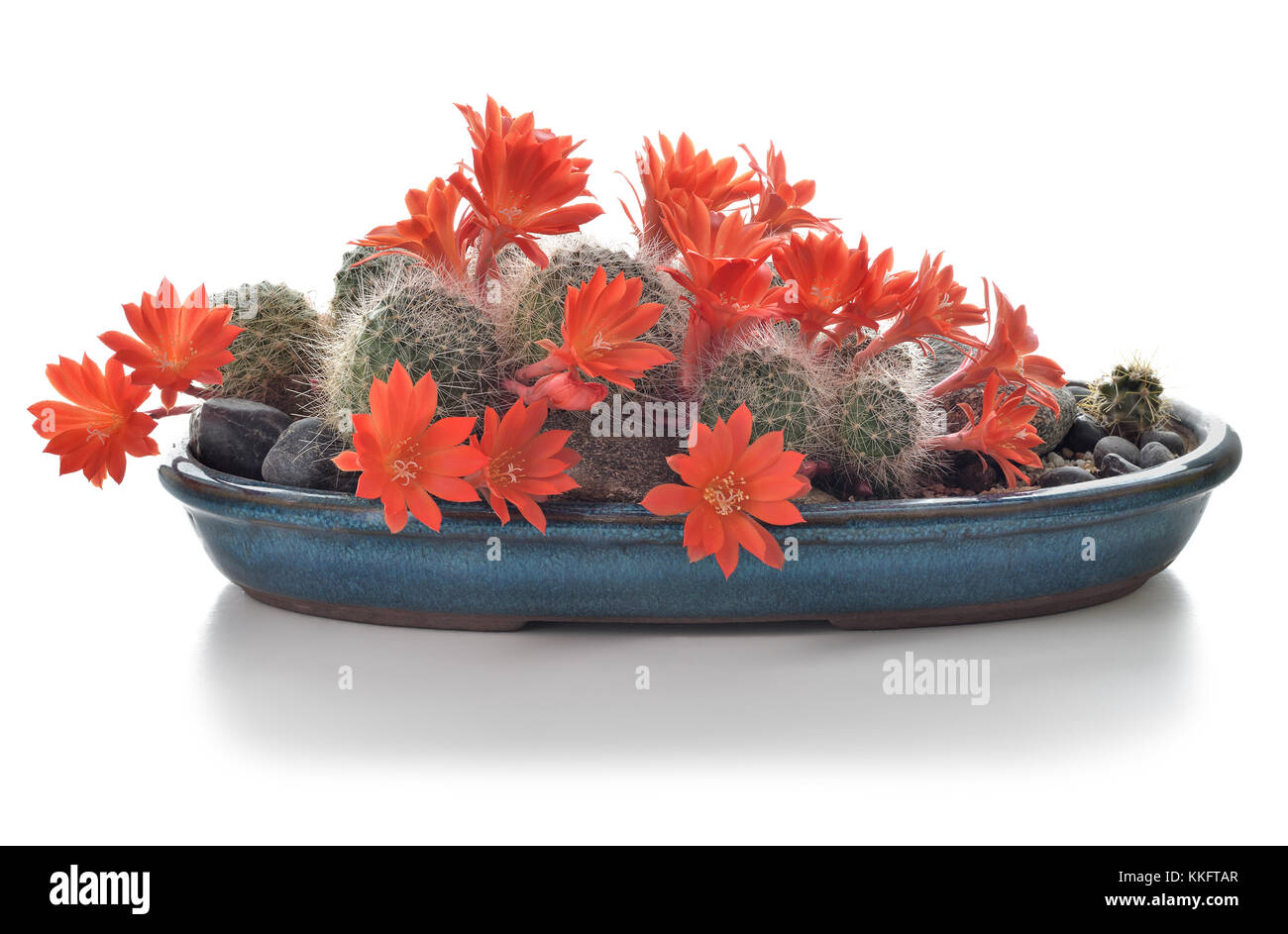 Blooming cactus houseplant isolated on white background. Cactus in flowers in a pot. Composition of succulents. - Stock Image