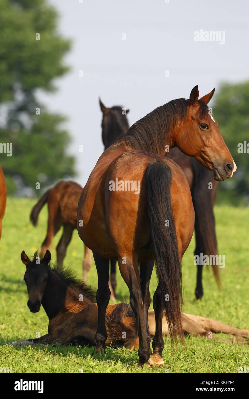 morgan horse - Stock Image