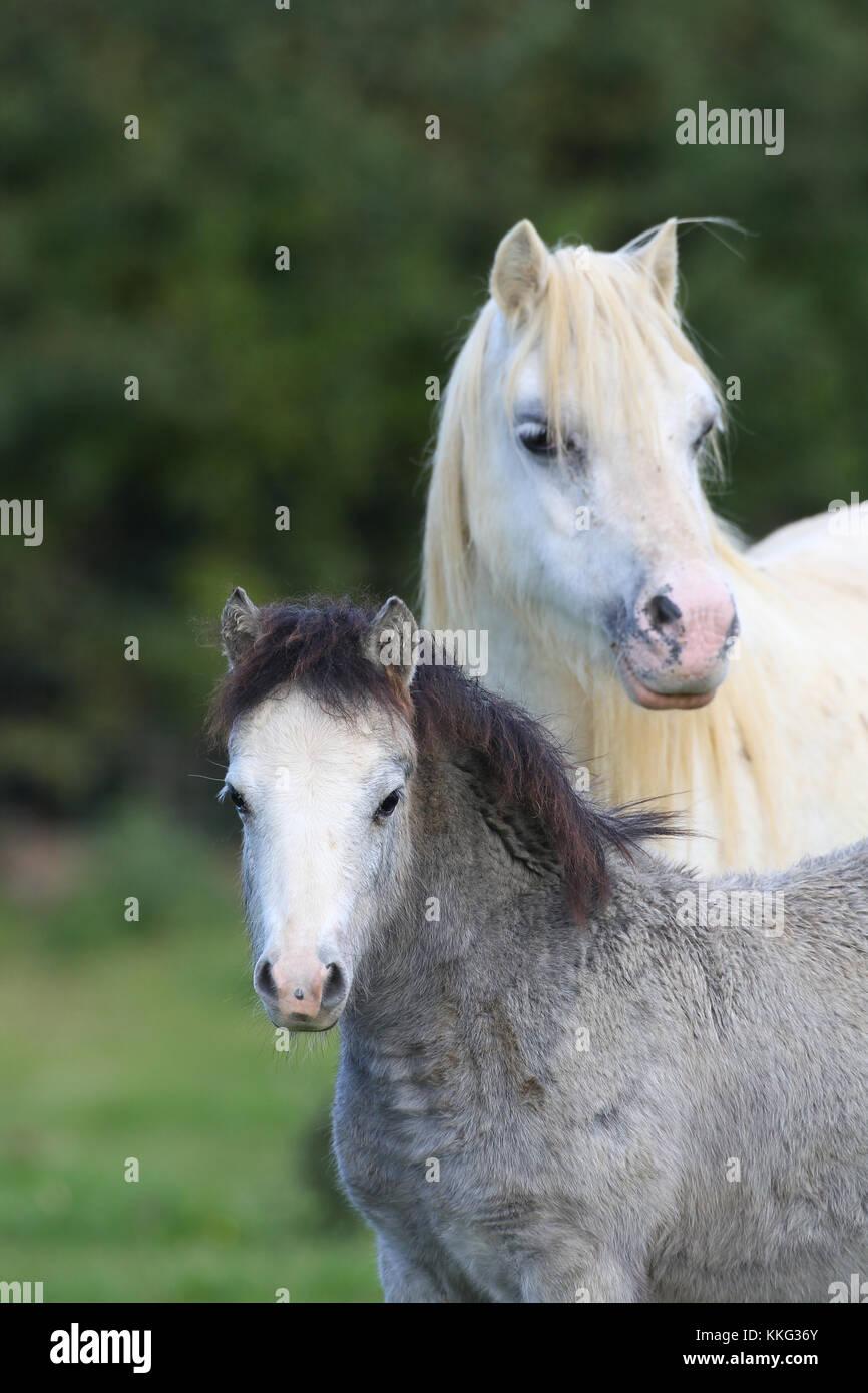 welsh pony - Stock Image