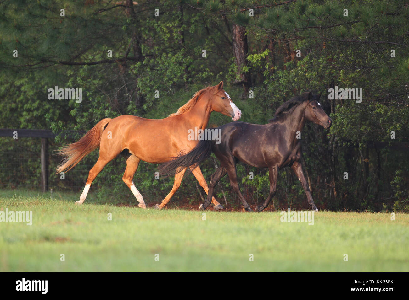 German Riding Pony And Oldenburg X Welsh Pony Trotting By Woods - Stock Image