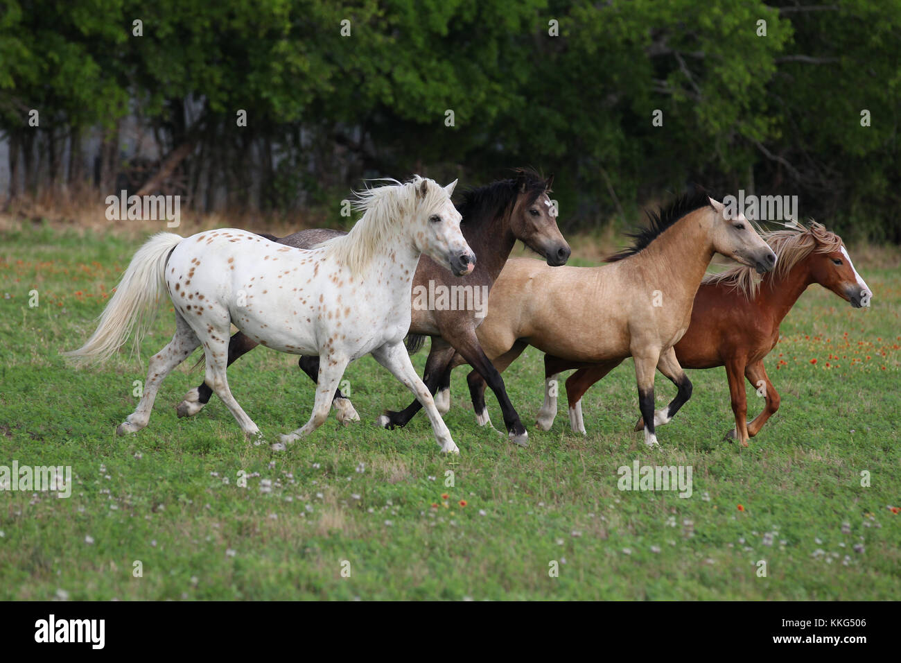 Pony Of America, Welsh Section A And B Ponies - Stock Image