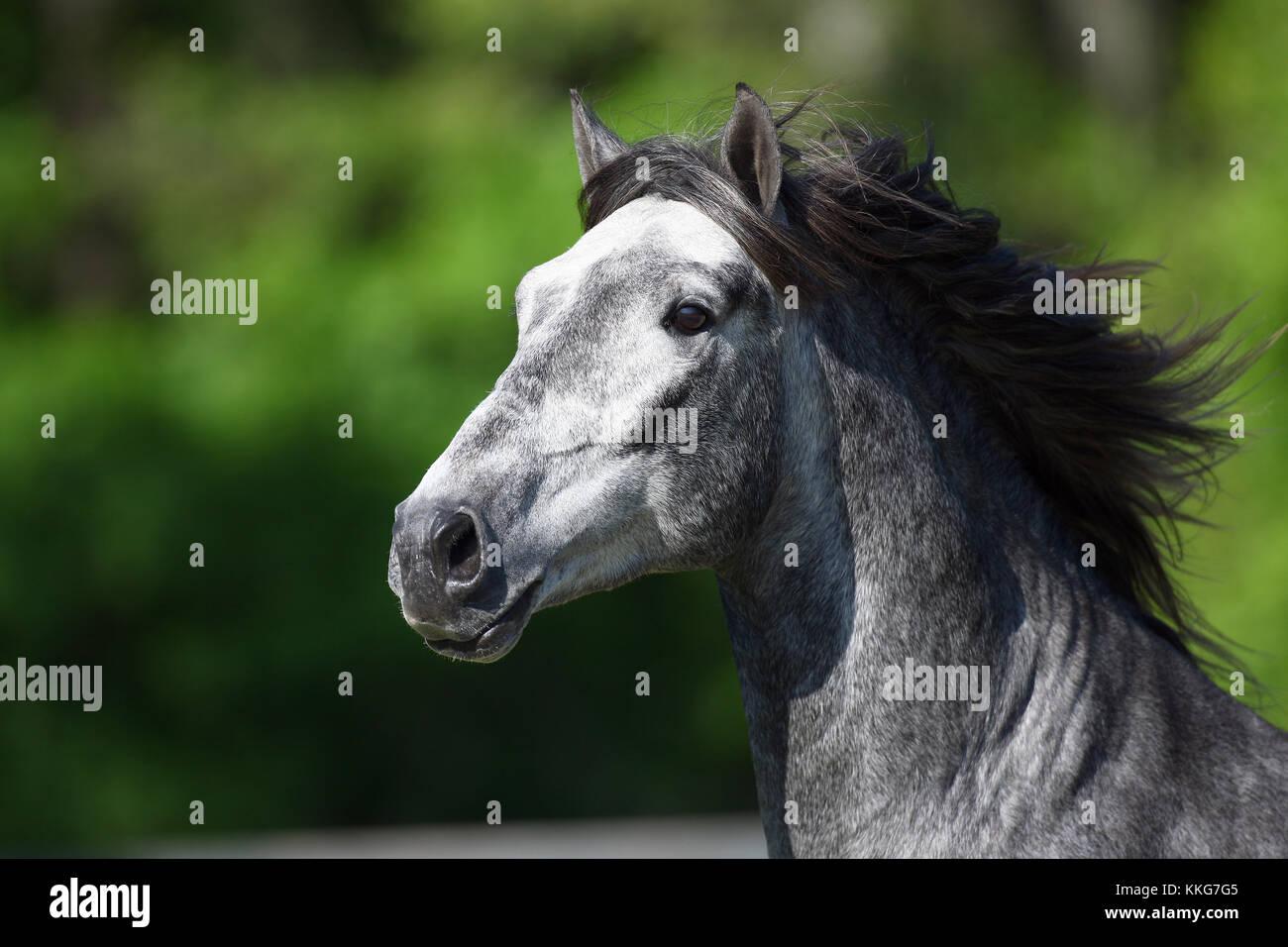 Grey Lusitano Headshot - Stock Image