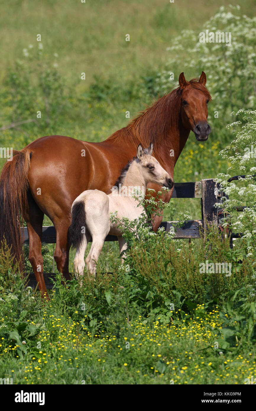 Lusitano Mare And Foal In Field - Stock Image
