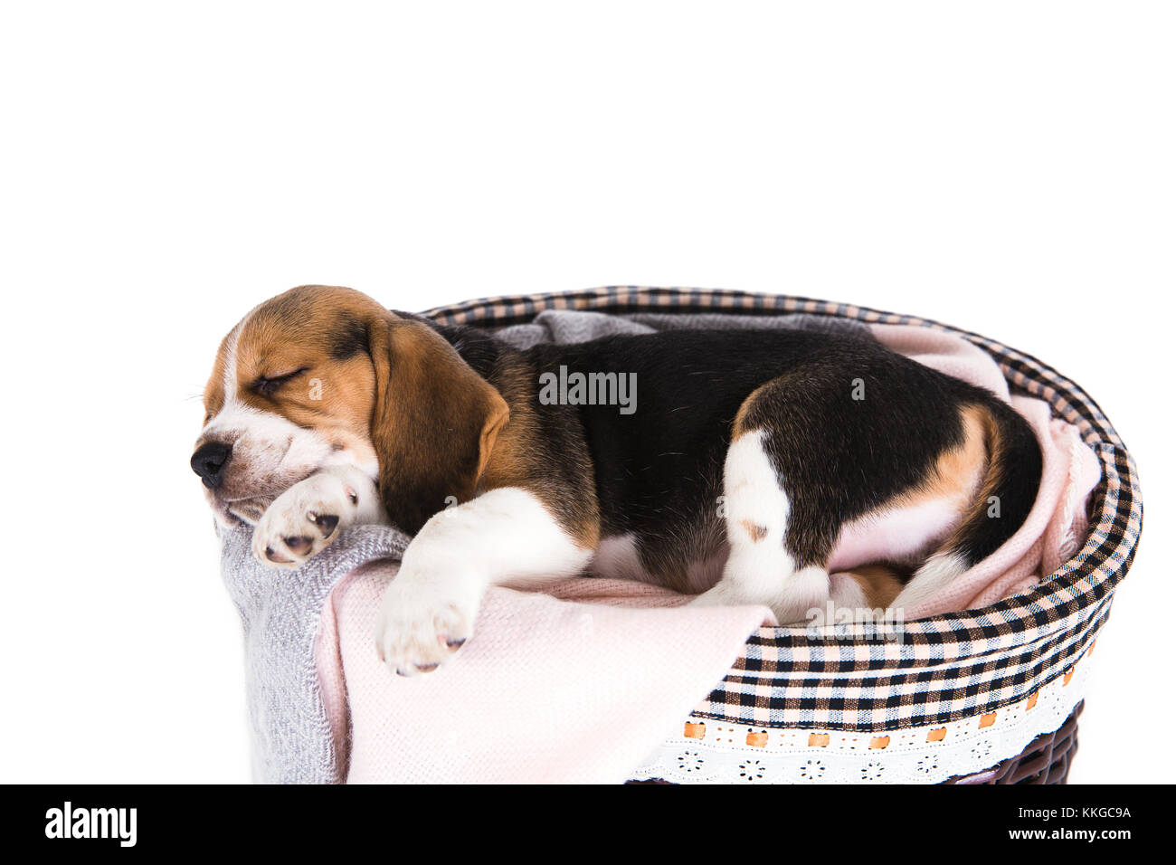 Cute beagle puppy sleeping in small basket on white background. Wicker basket decorated with checkered towel. No - Stock Image