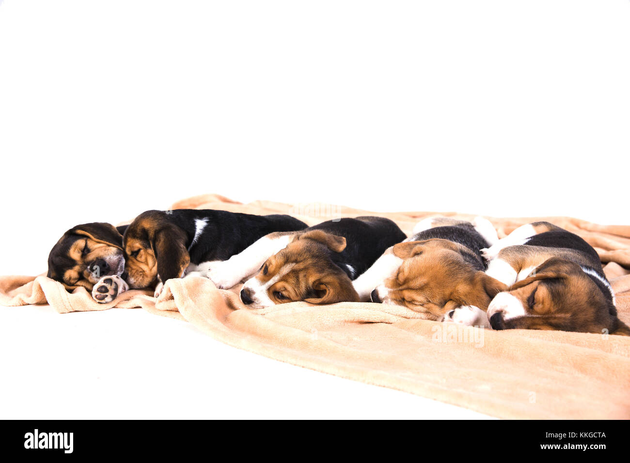 Lovely puppies of a tri-color beagle are sleeping on beige plaid on floor. White background - Stock Image