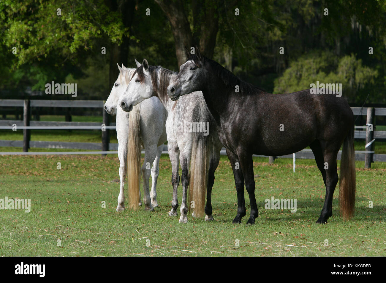 Group Of Lusitano Horses Standing Together - Stock Image