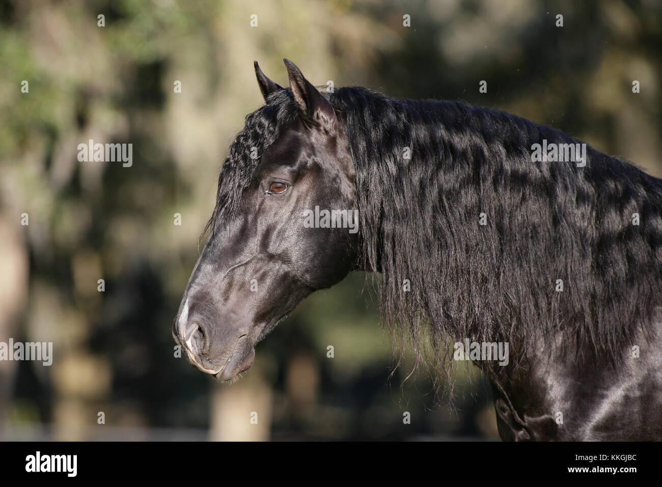 Lusitano Stallion Headshot - Stock Image