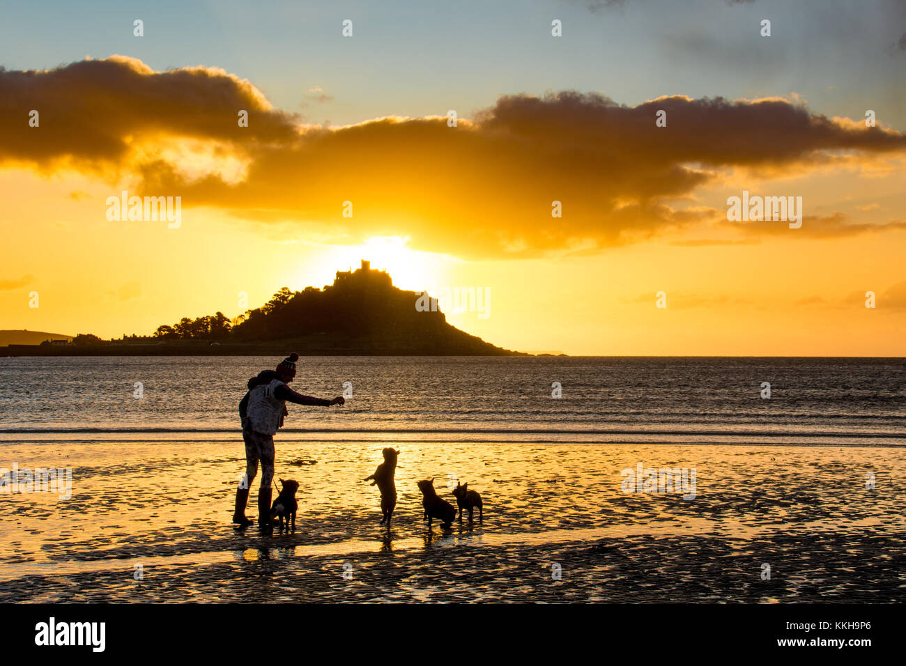 French bulldogs out for the early morning walk at sunrise at Longrock beach, near Marazion, Cornwall,  with St Michaels Stock Photo