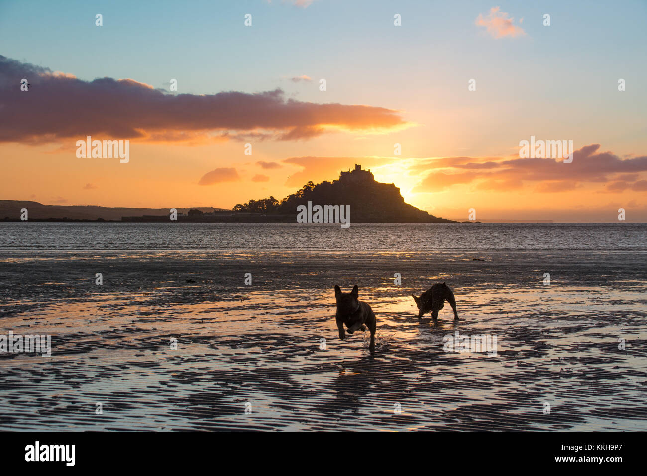 French bulldogs out for the early morning walk at sunrise at Longrock beach, near Marazion, Cornwall,  with St Michaels - Stock Image