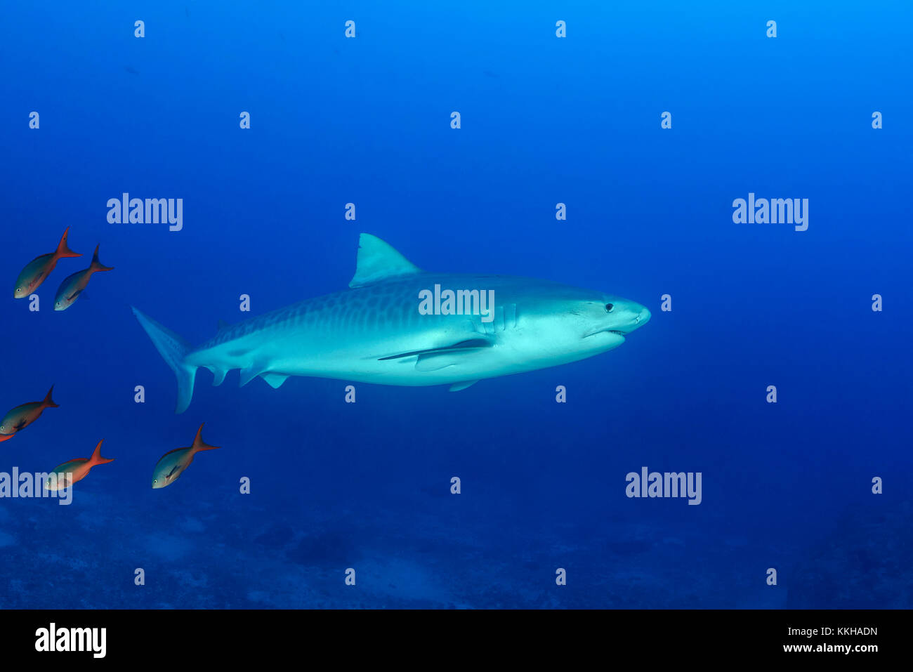 Galeocerdo cuvier, Tiger Shark, Costa Rica, Cocos Island, Costa Rica, Pacific Ocean Stock Photo