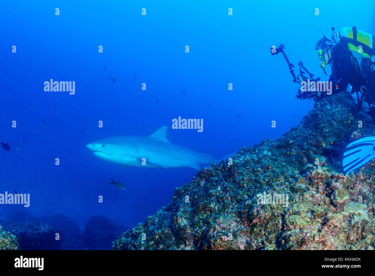 Galeocerdo cuvier, Tiger shark and scuba diver with underwater camera, Cocos Island, Costa Rica, Pacific Ocean - Stock Image