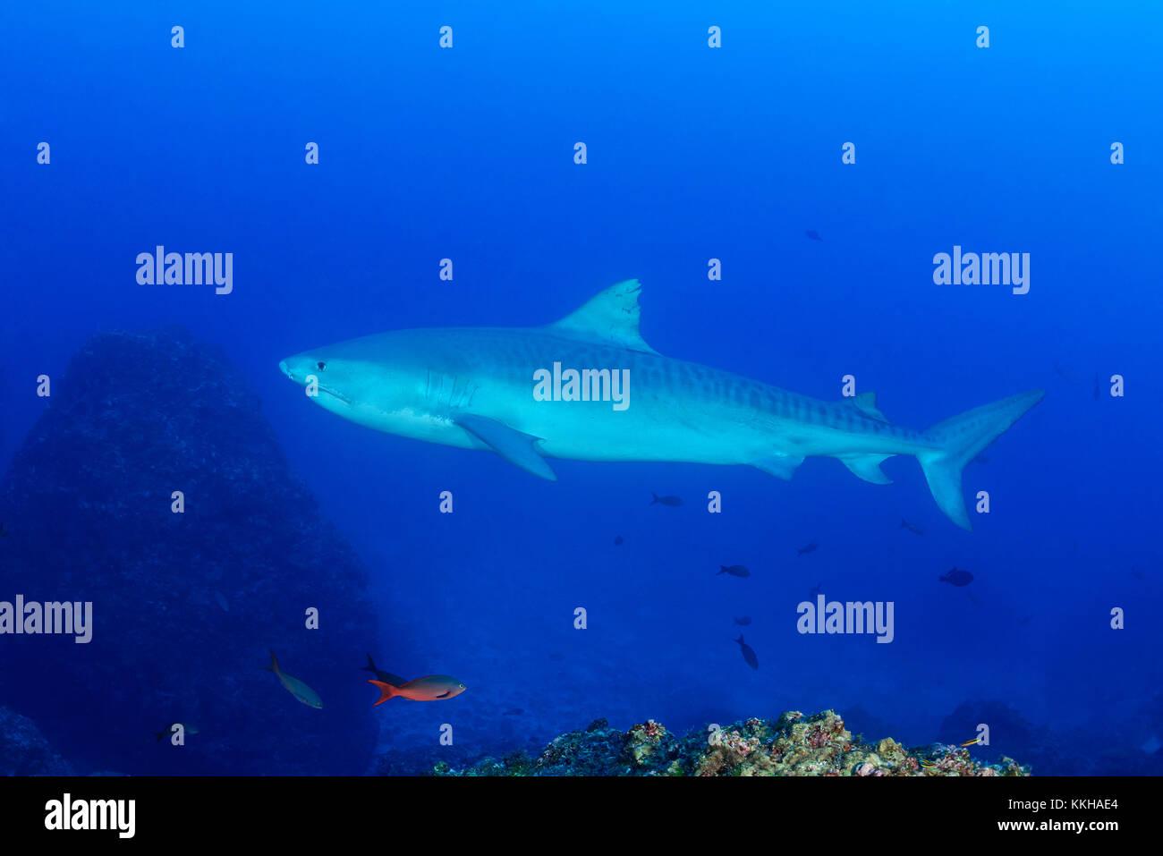 Galeocerdo cuvier, Tiger Shark, Costa Rica, Cocos Island, Costa Rica, Pacific Ocean - Stock Image
