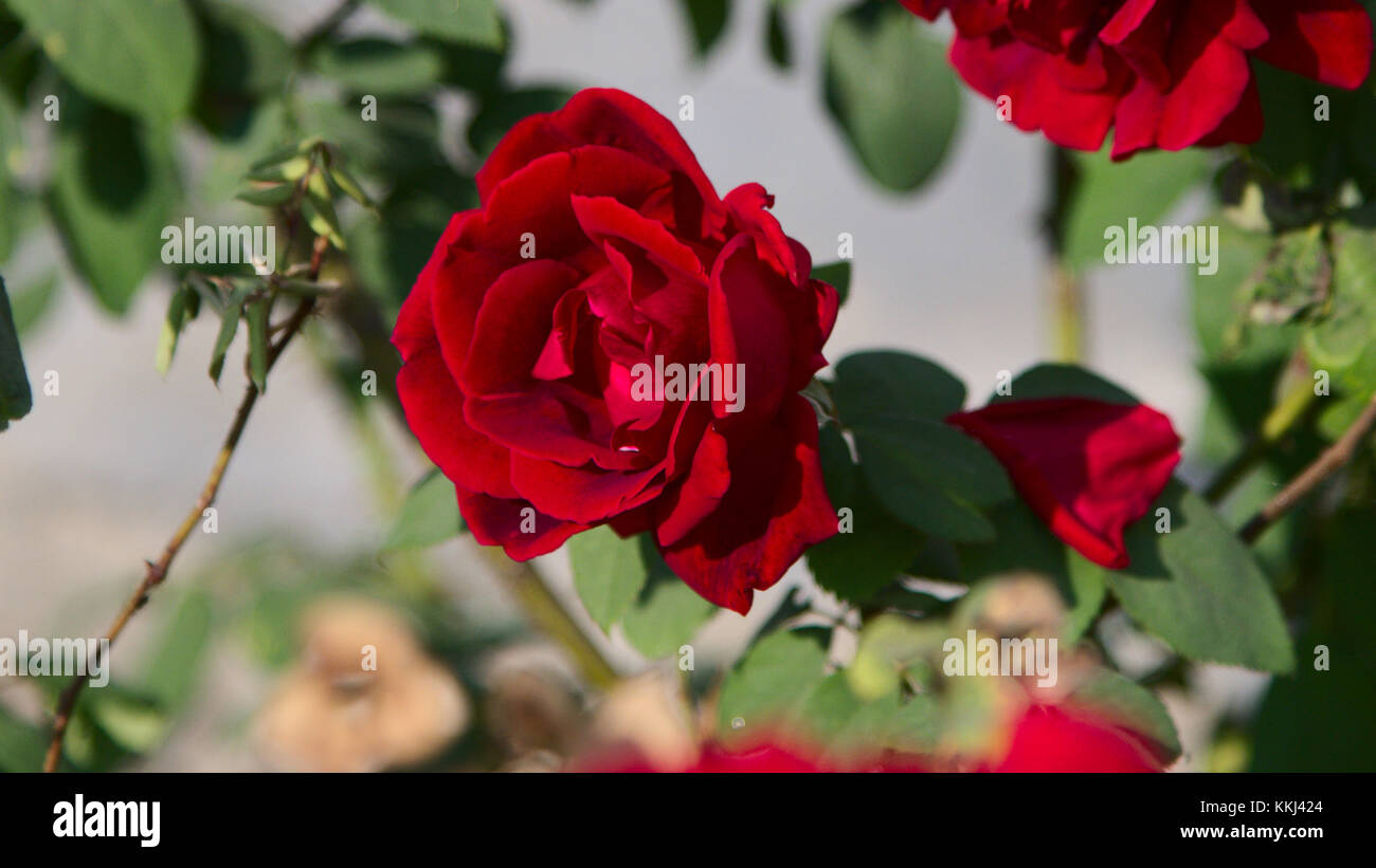 Red rose image gallery stock photos red rose image gallery stock beautiful red rose flower stock image izmirmasajfo