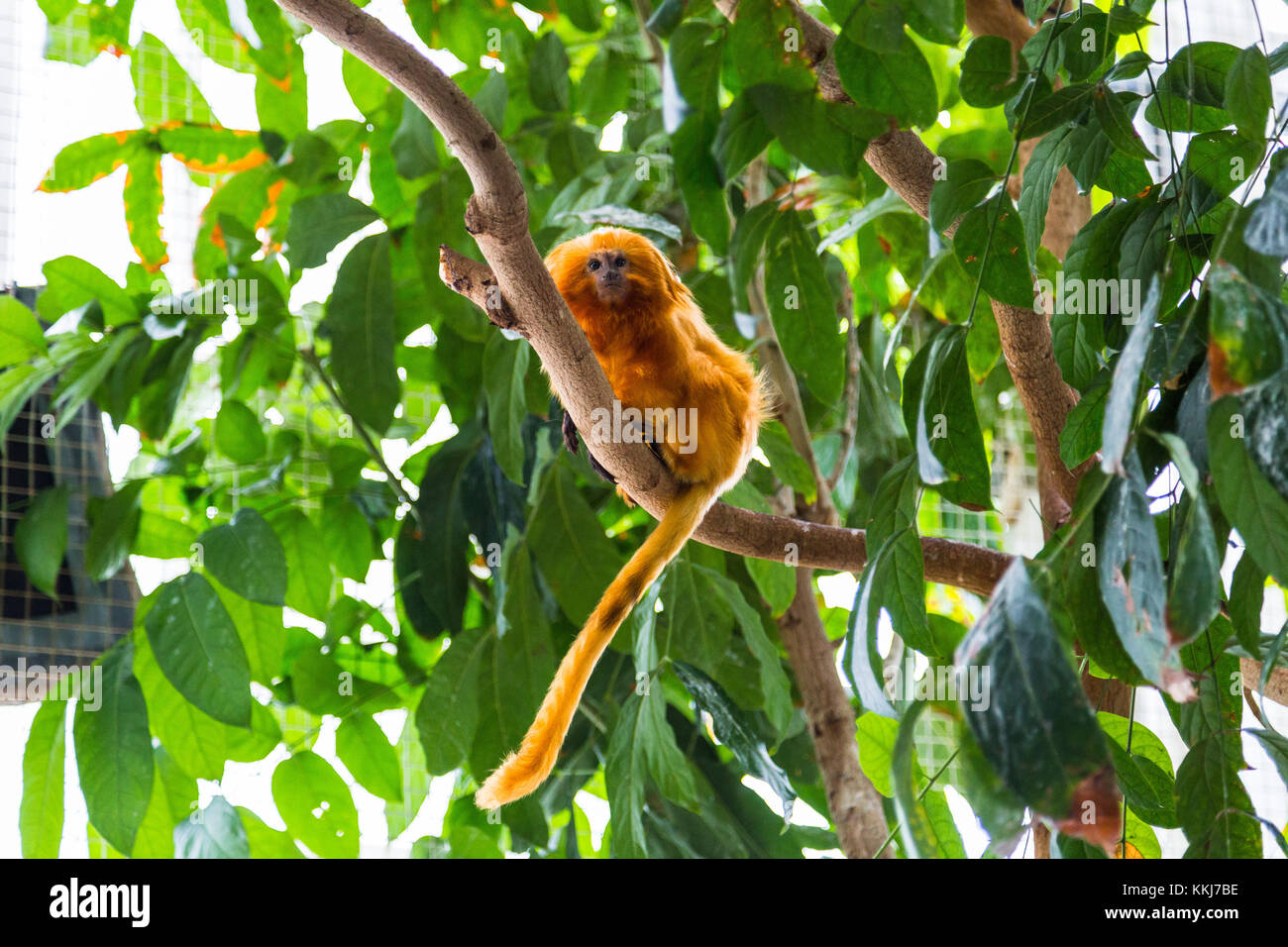 Golden lion tamarin monkey on a tree in Maryland National Aquarium, Baltimore, Maryland, USA - Stock Image