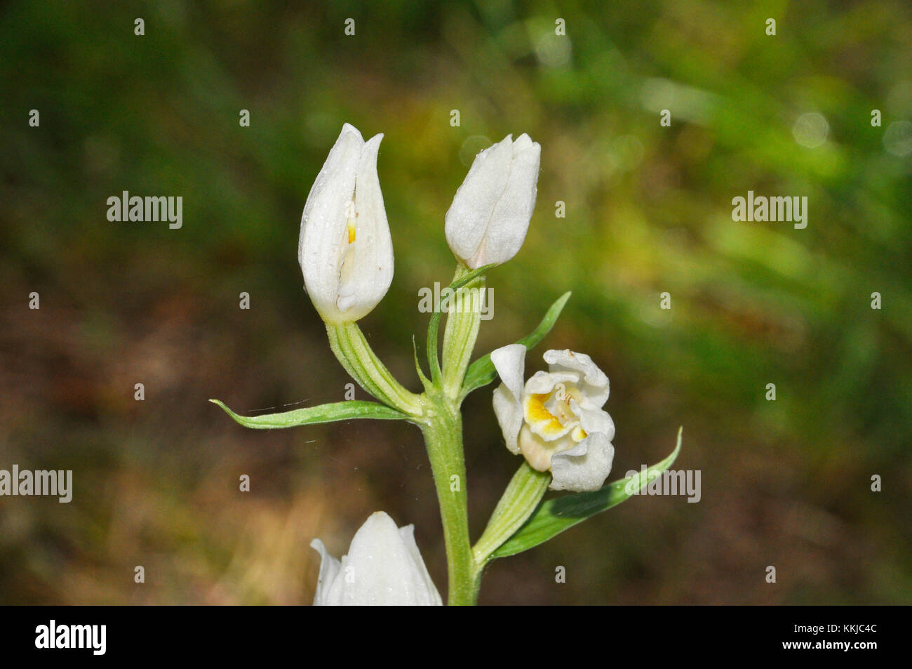 White Helleborine 'Cephalanthera damasonium', woodland glades,May to June,vulnerable,Hampshire,UK - Stock Image