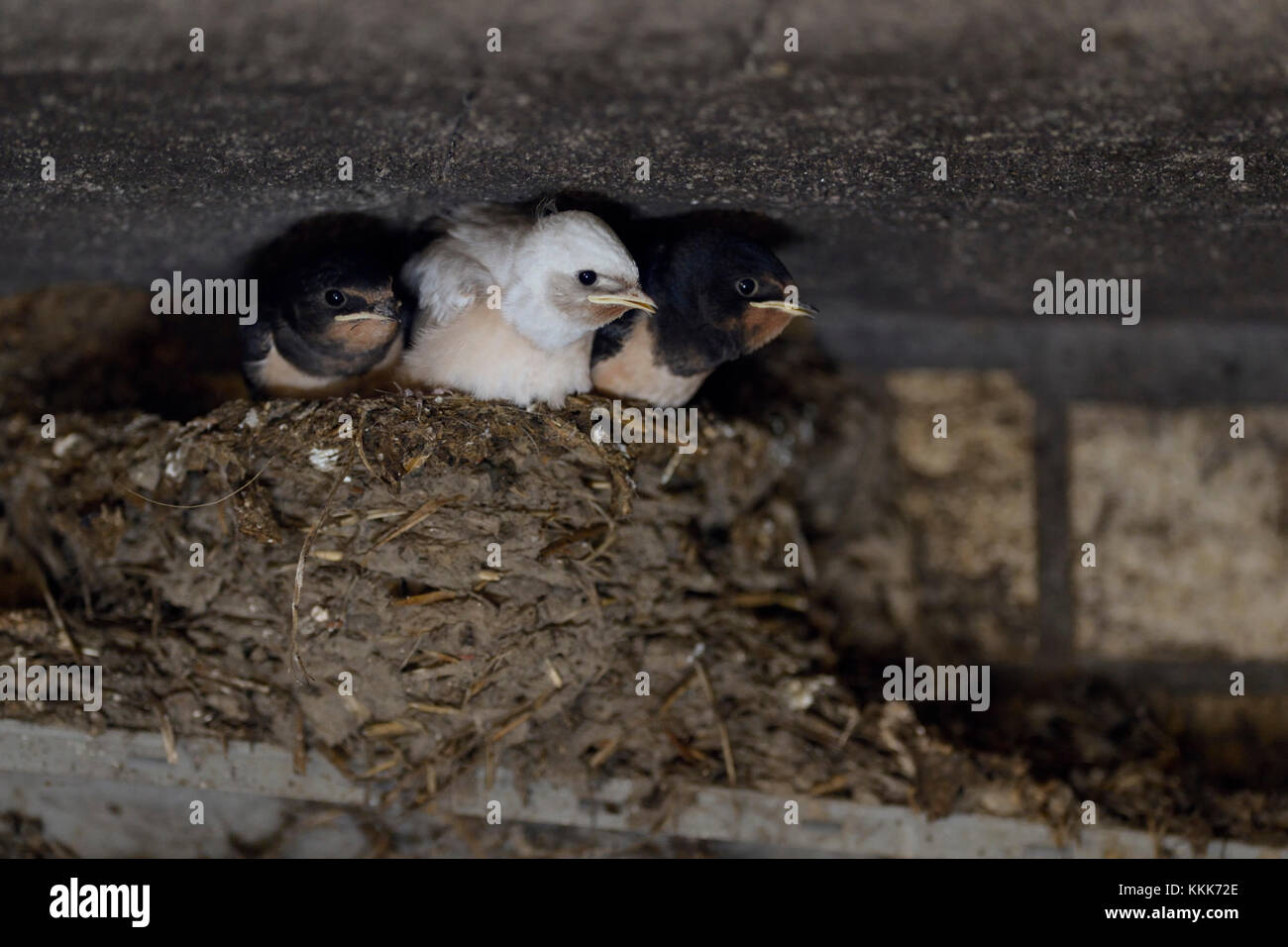 Barn Swallow / Swallows ( Hirundo rustica ), chicks in nest, almost fledged, one with white plumage, rare pigment - Stock Image