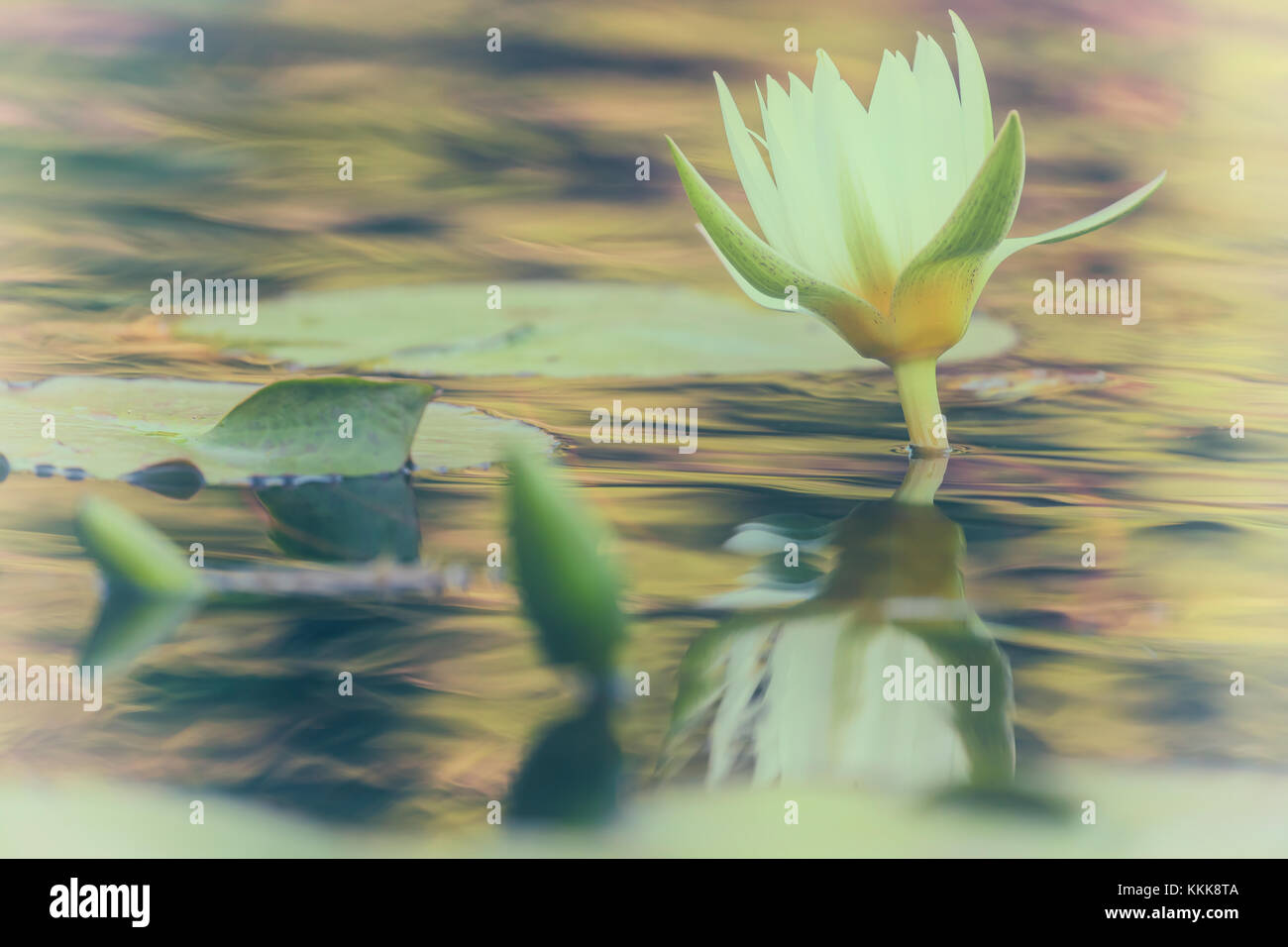 A close up of a water lily flower (Nymphaea sp.) in a water garden in New York City Central Park, New York. Filters - Stock Image
