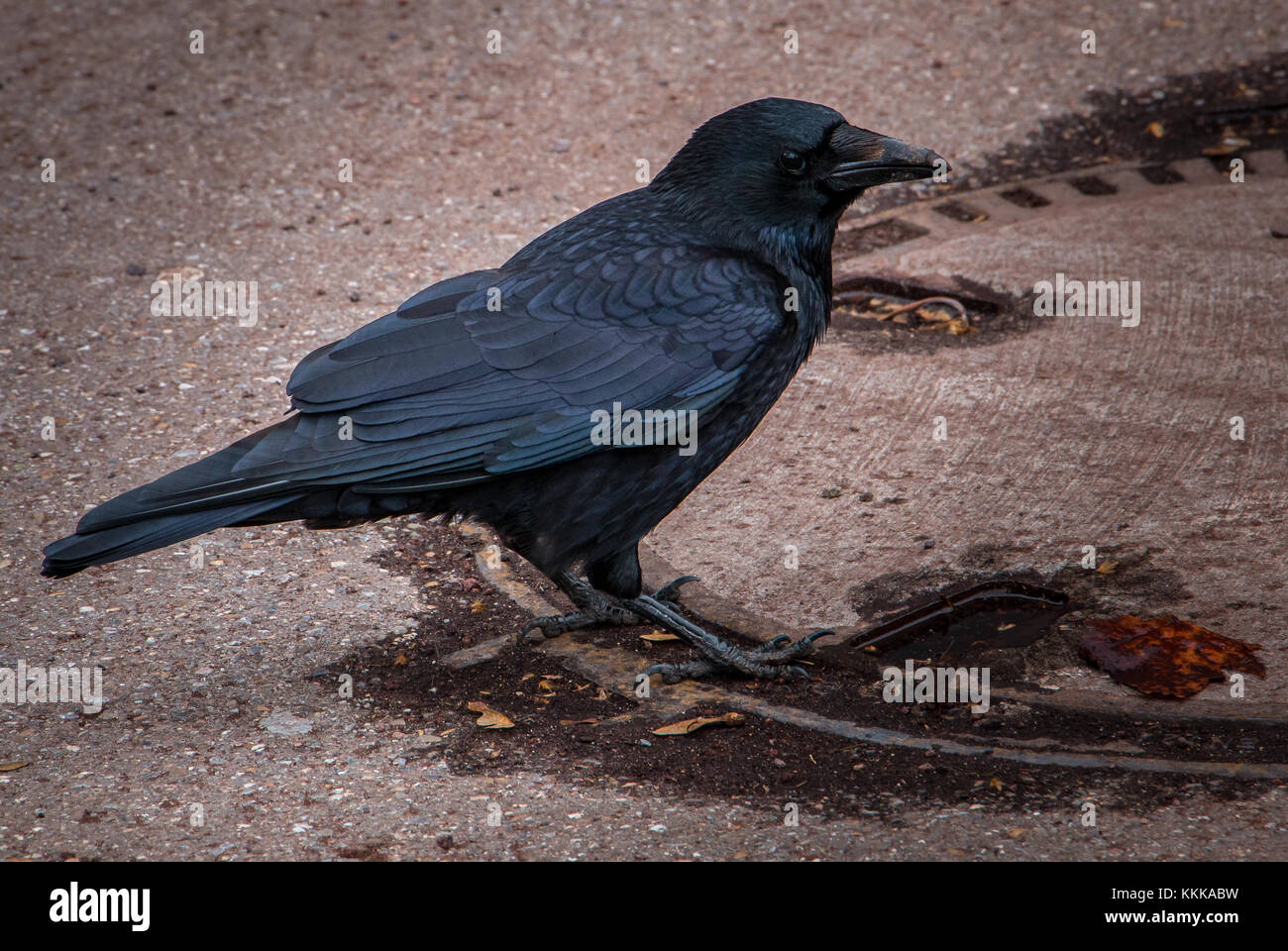Big black raven on the brown ground. Black feathers. - Stock Image