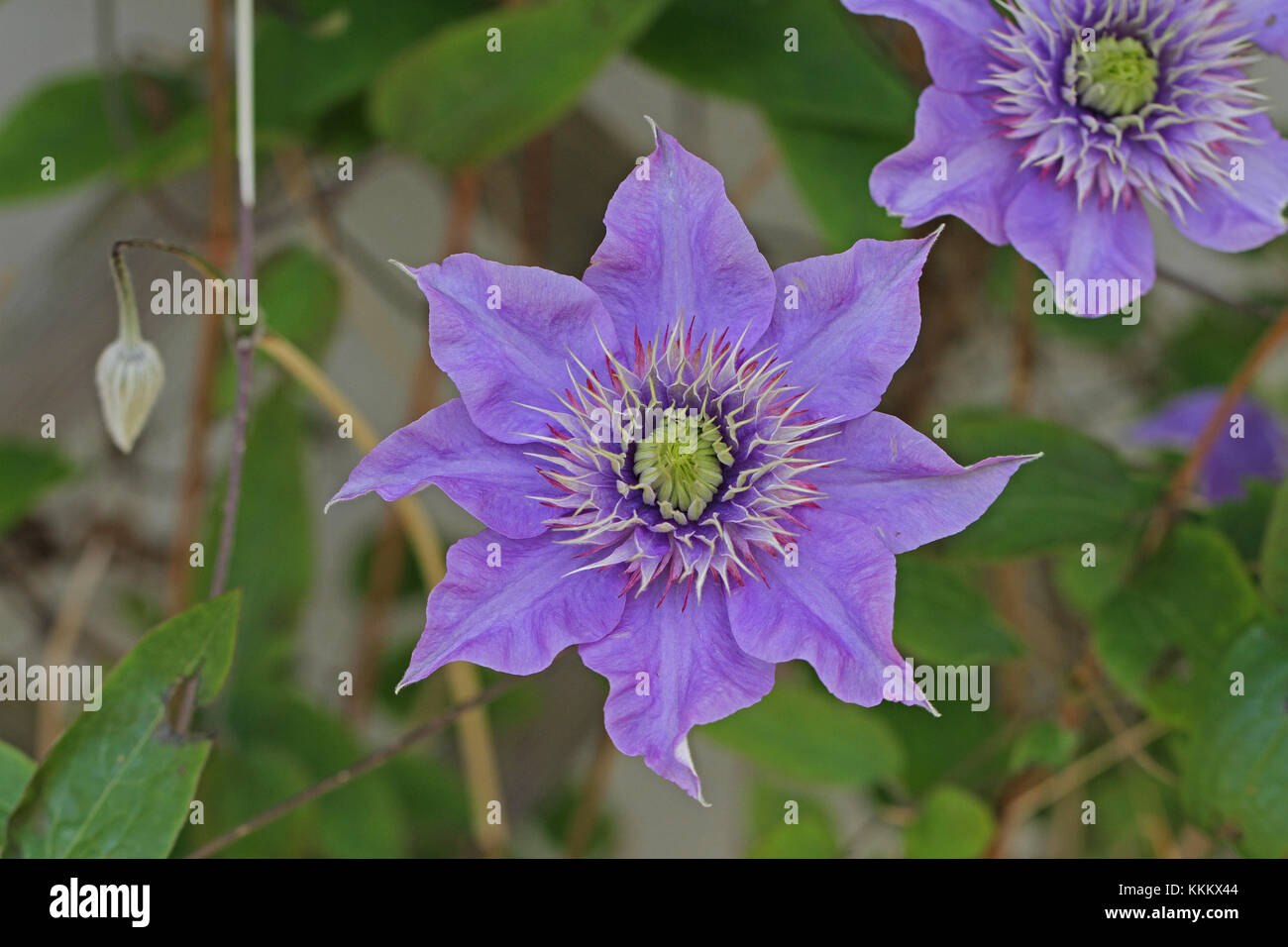 Purple or mauve clematis flower close up in springtime in Italy Stock Photo