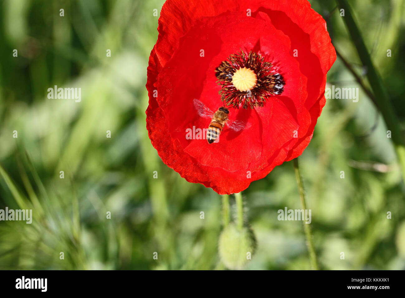 Poppy flower or papaver dubium and honey bee apis mellifera in Italy in Springtime remembrance flower first world - Stock Image