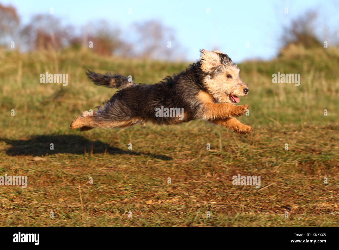 Terrier - Lakeland Lakeland Terrier Fell Terrier - Stock Image
