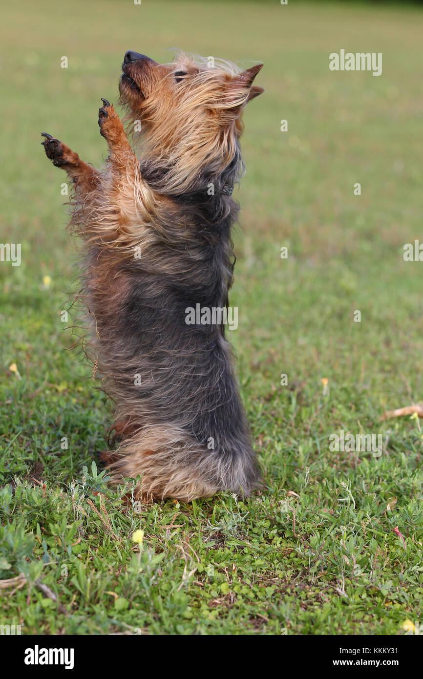 Terrier - Australian Australian Terrier Aussie Terrier - Stock Image