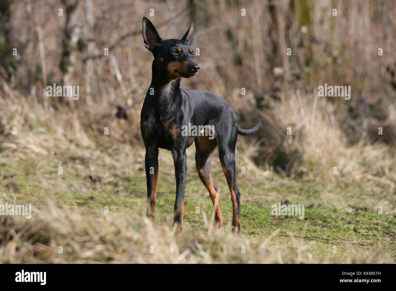 e15cd893e5cd84 Terrier - English Toy English Toy Terrier Black-and-tan Toy Terrier - Stock
