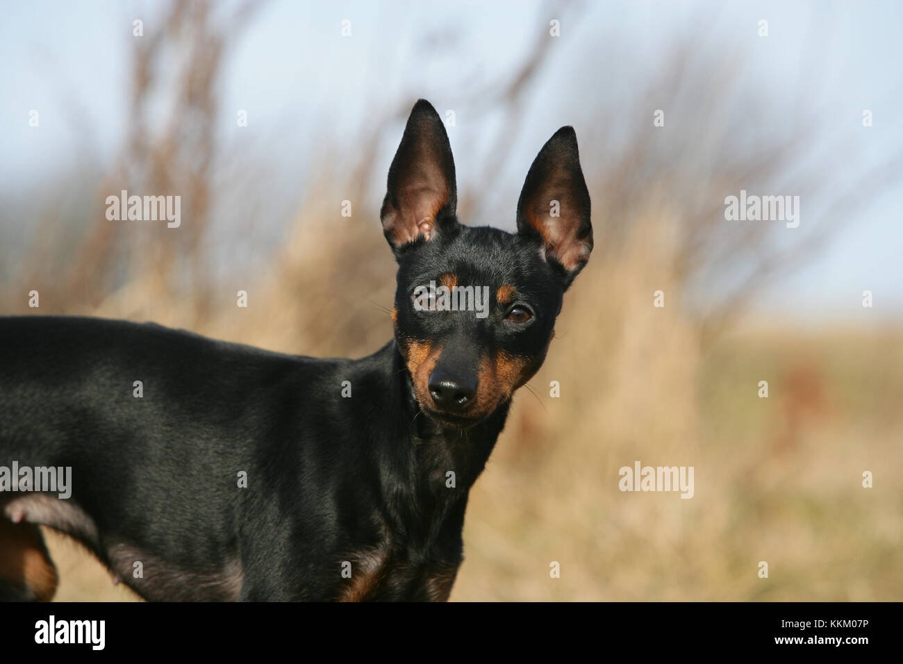 Terrier - English Toy English Toy Terrier Black-and-tan Toy Terrier - Stock Image