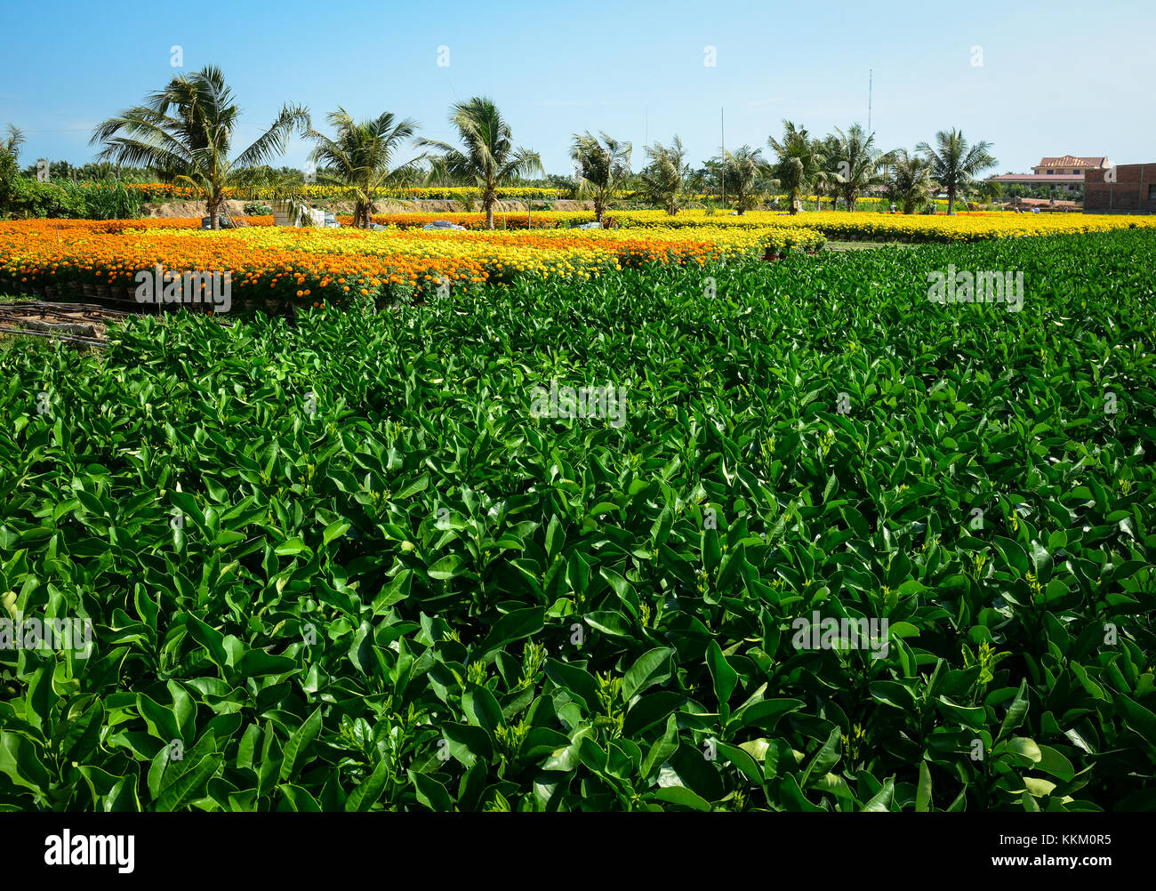 Vegetable plantation at sunny day in Sa Dec, Vietnam. Sa Dec is a river port and agricultural and industrial trading - Stock Image