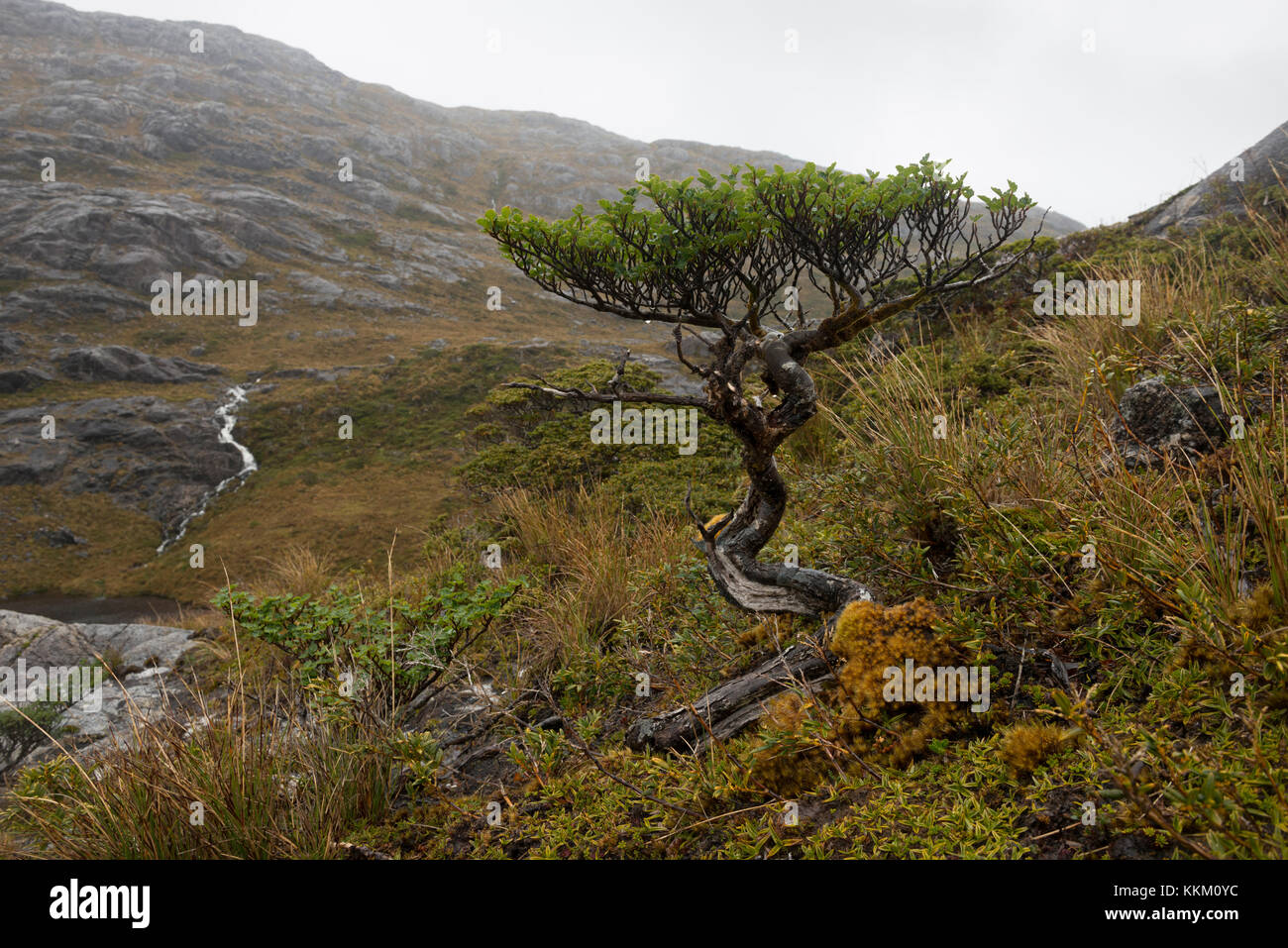 A Wild Bonsai Tree Growing On A Remote Island In The Southern Chilean Stock Photo Alamy