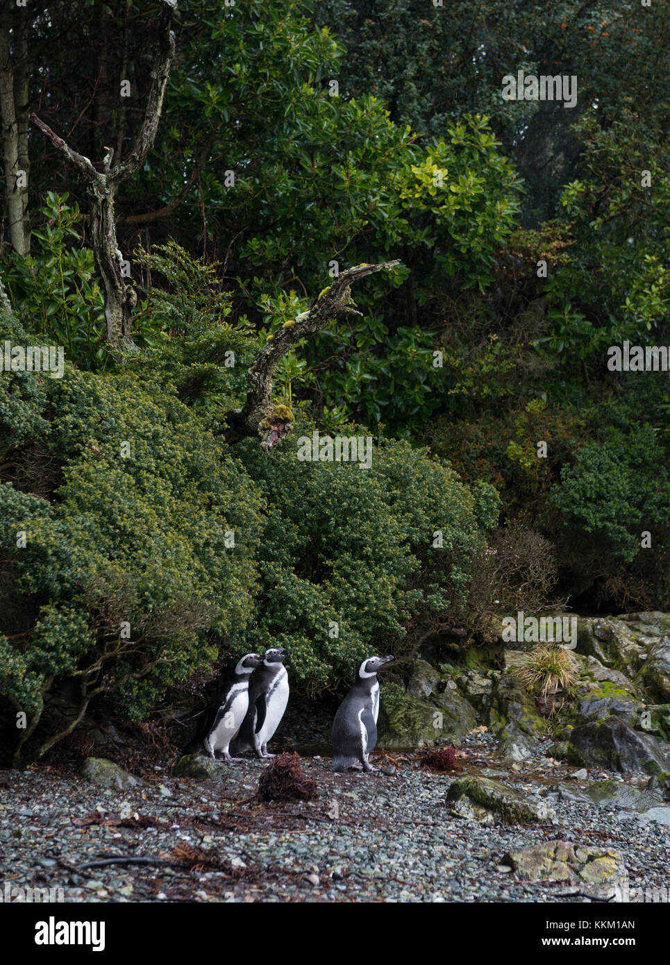 Magellanic Penguins near their breeding colony on an island in southern Chile - Stock Image