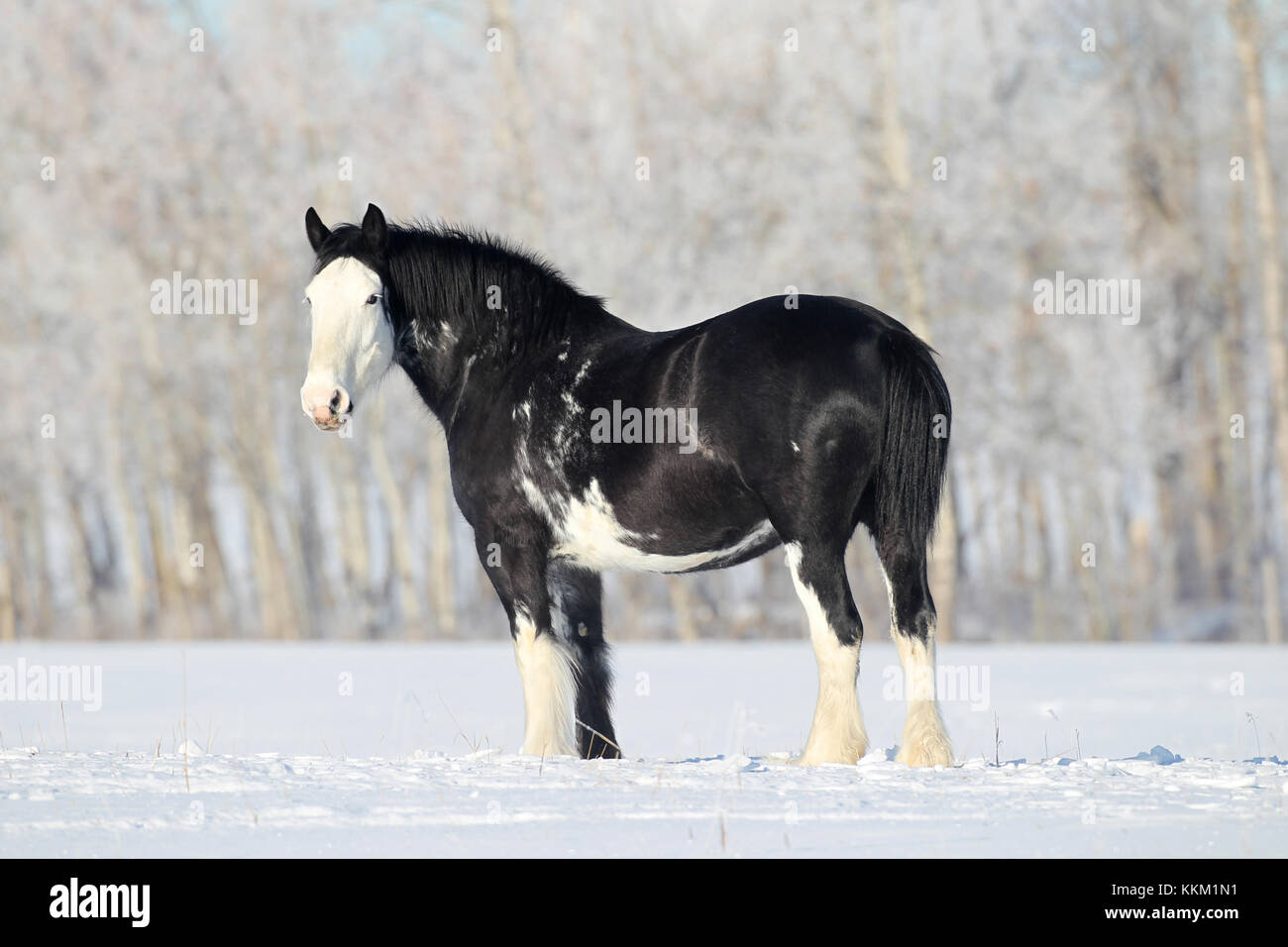 Clydesdale In The Snow Stock Photo Alamy