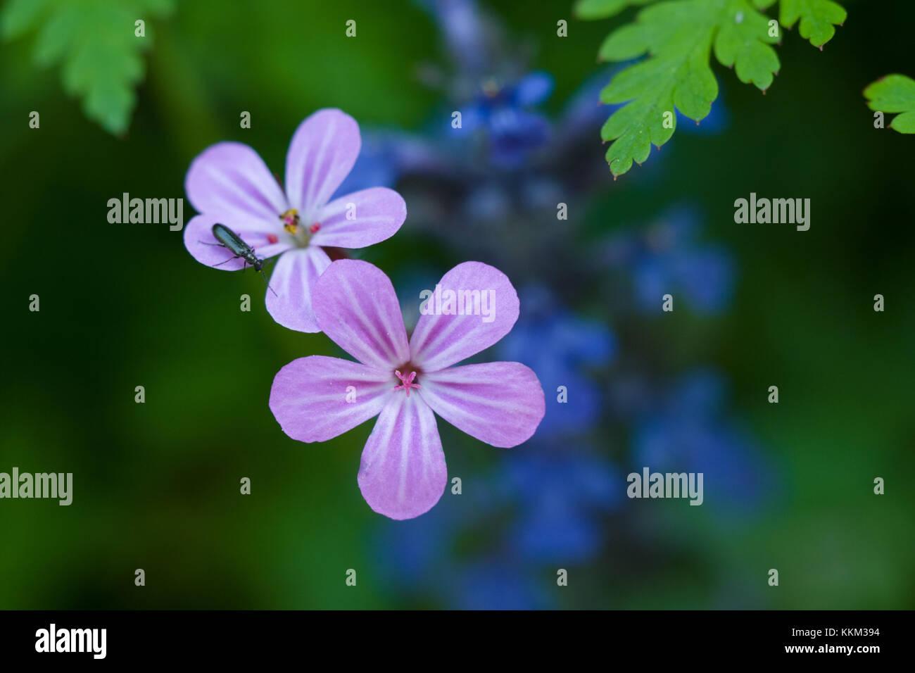 Herb-Robert, ferns, forgetmenots - Stock Image