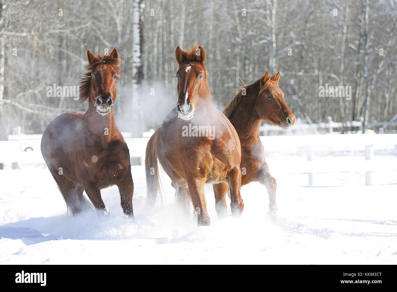 Oldenburgs in the snow - Stock Image