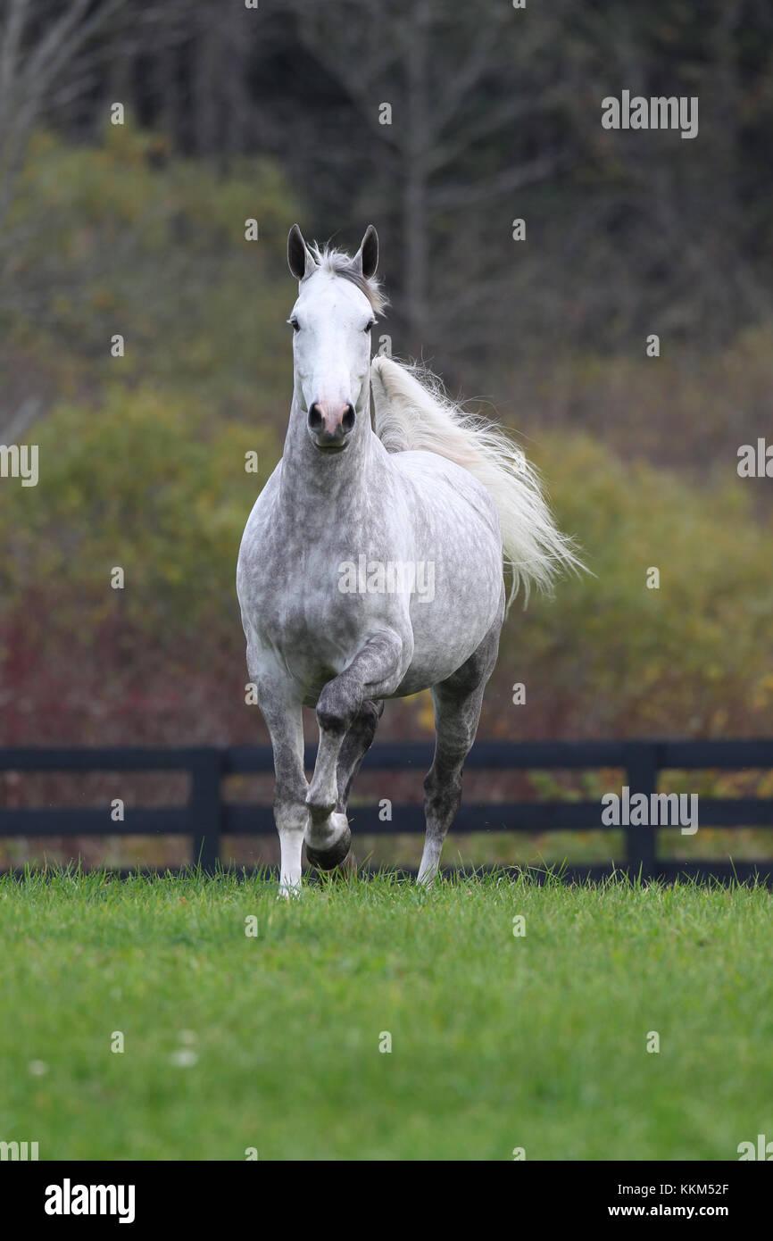 Dapple grey Oldenburg - Stock Image