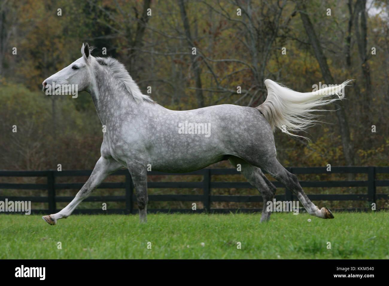 Dapple Grey Oldenburg Cantering - Stock Image