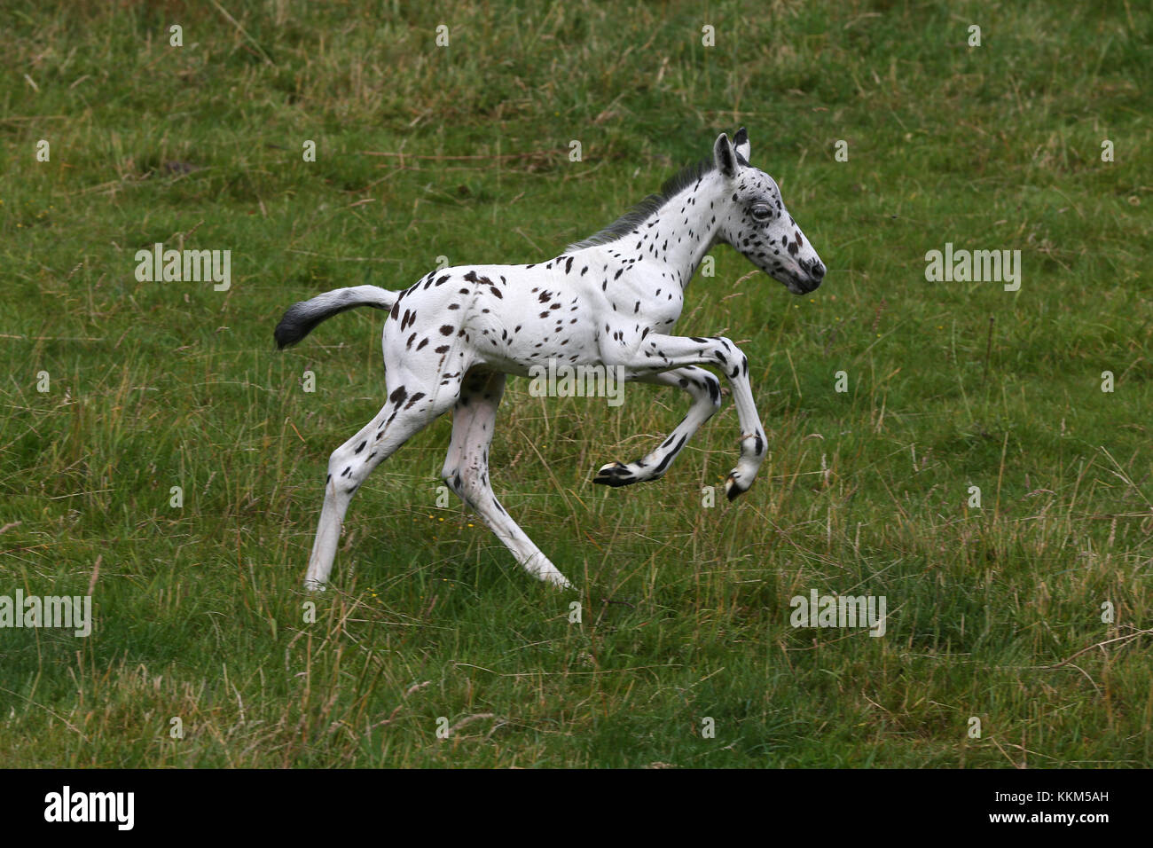 Spotted Foal Leaping - Stock Image