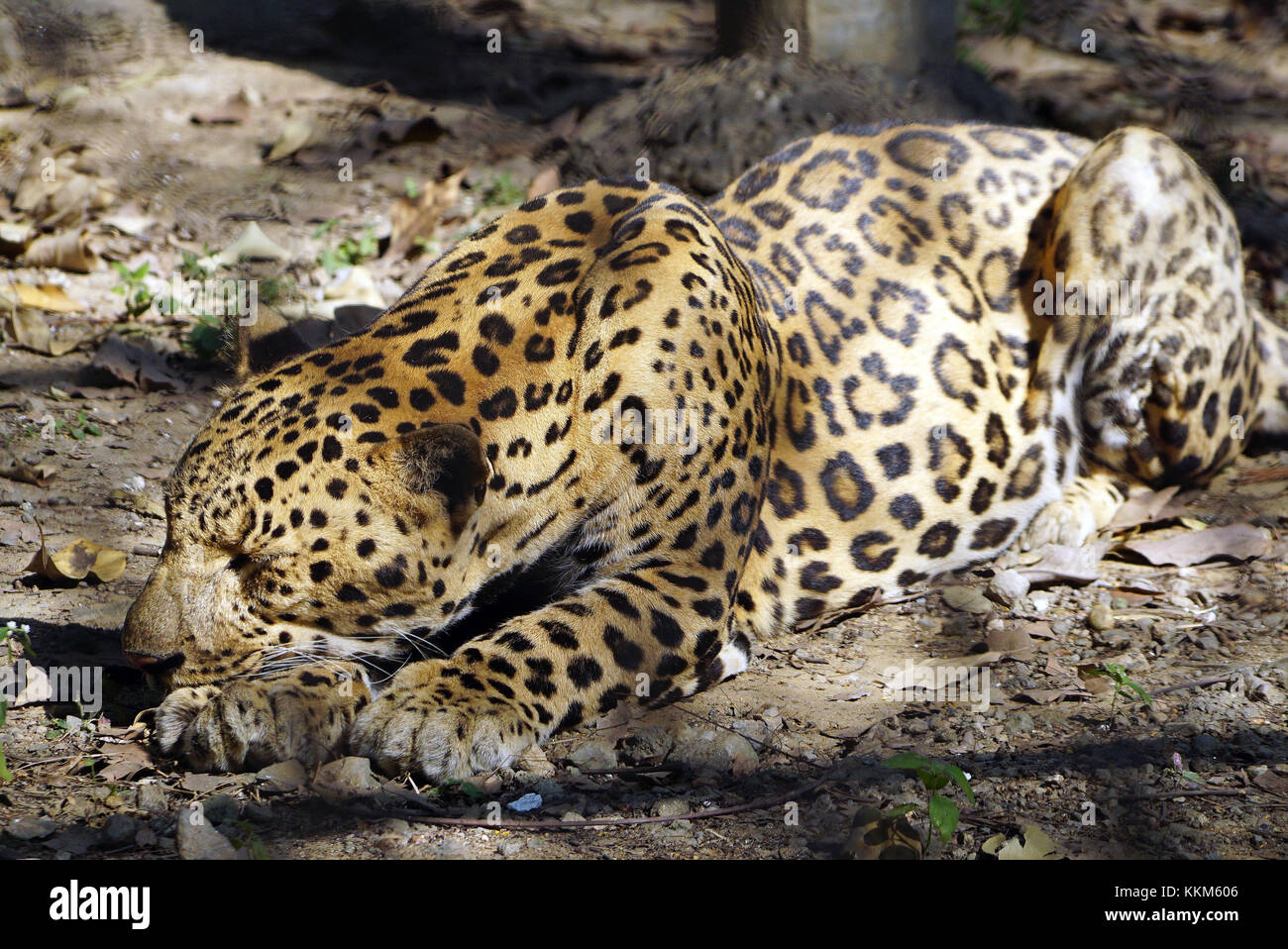 The Jaguar (Panthera onca) in resting pose. - Stock Image