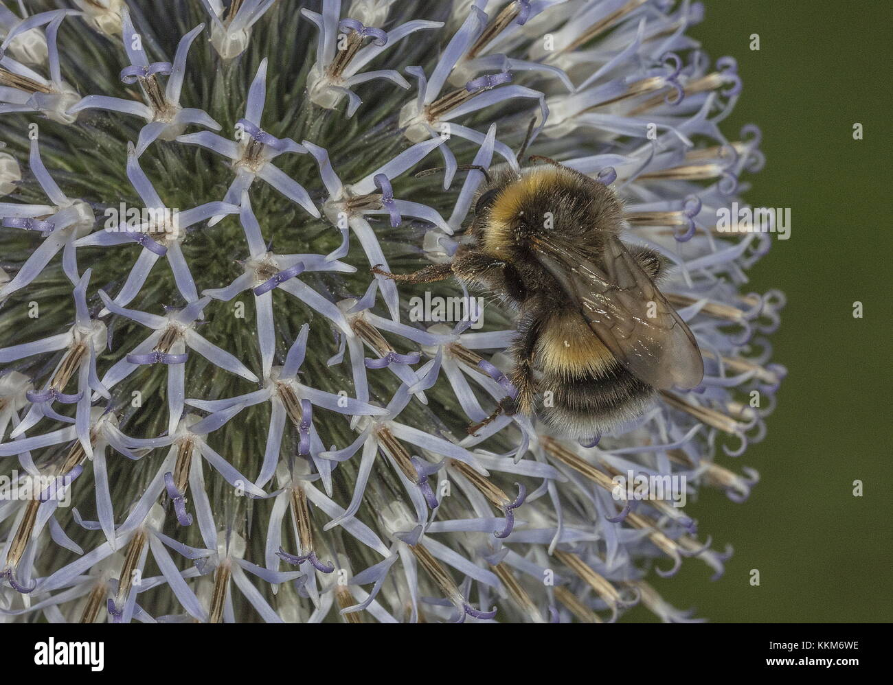 Worker buff-tailed bumblebee, Bombus terrestris, feeding on Globe thistle in garden. - Stock Image
