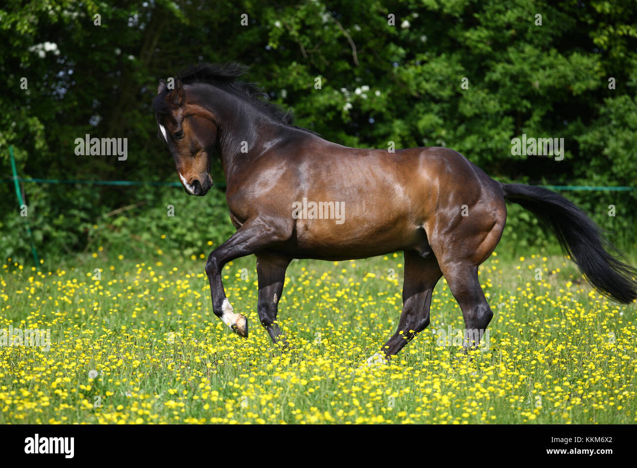 Hanoverian Stock Photo