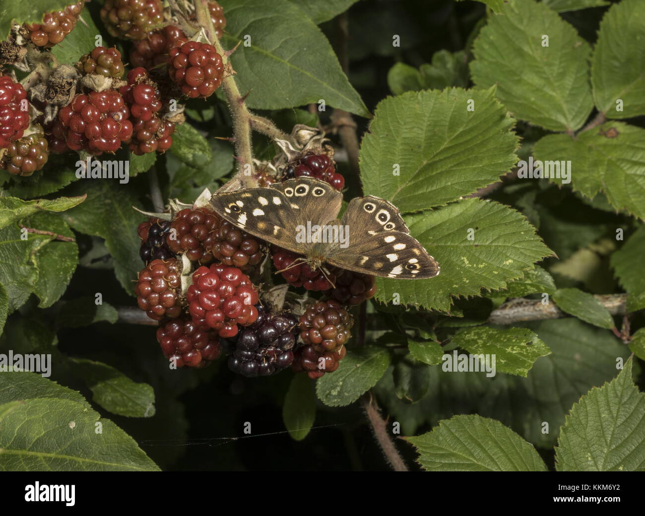 Speckled Wood butterfly, Pararge aegeria, feeding on blackberries. Dorset. - Stock Image