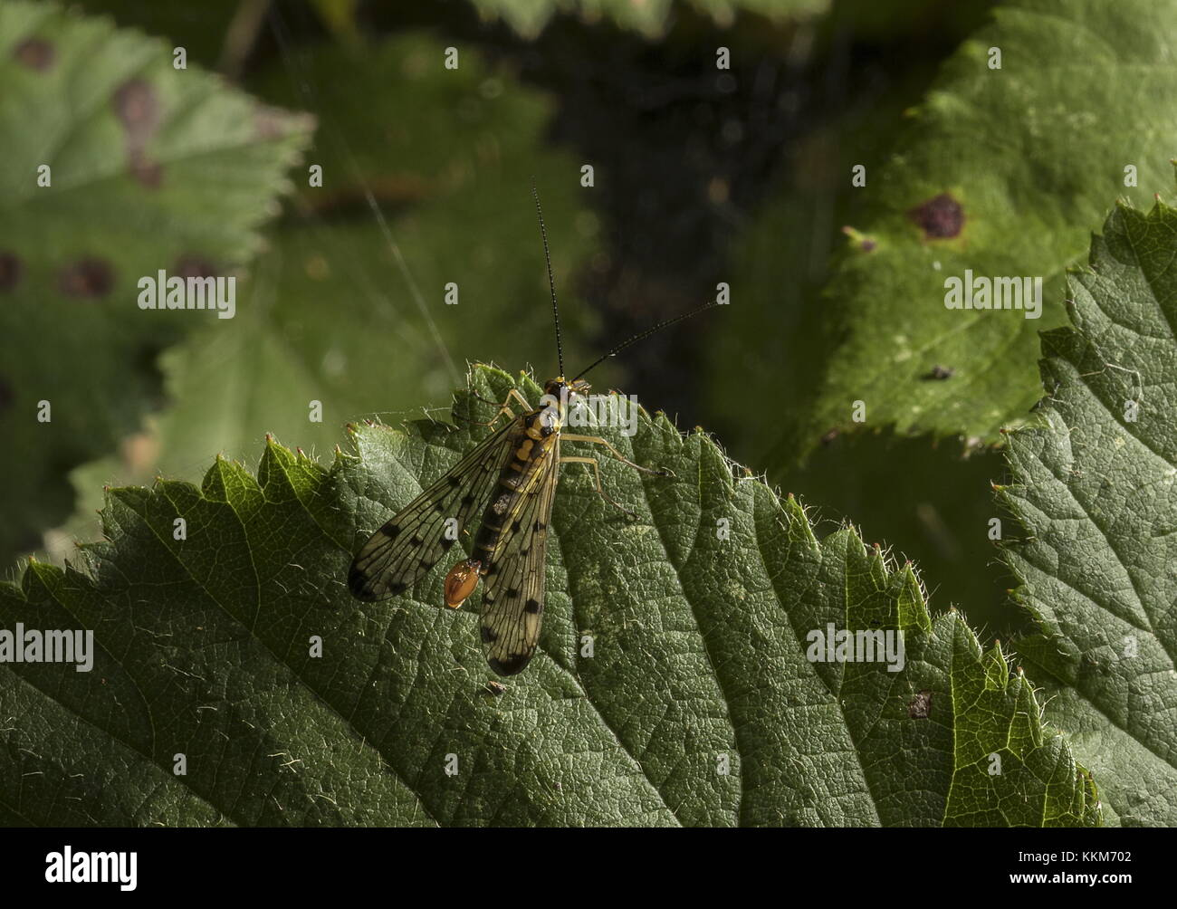 Male Scorpion Fly, Panorpa germanica scavenging on leaves, Dorset. - Stock Image