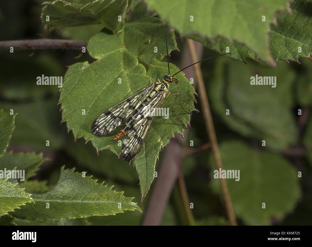 Female Scorpion Fly, Panorpa germanica scavenging on leaves, Dorset. - Stock Image