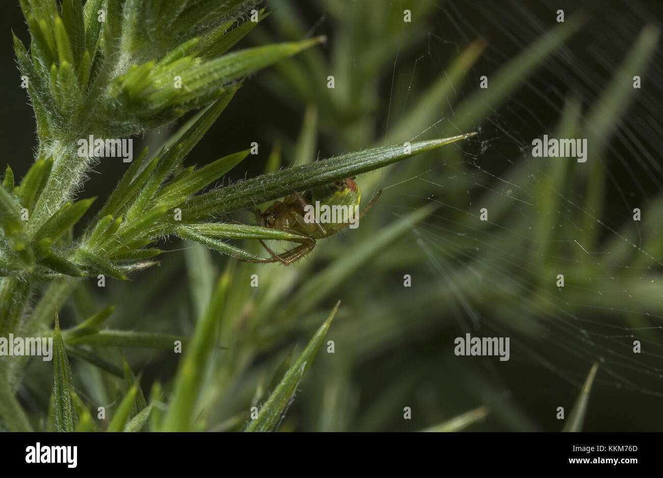 Cucumber green spider, Araniella cucurbitina, on gorse needle. Dorset. - Stock Image