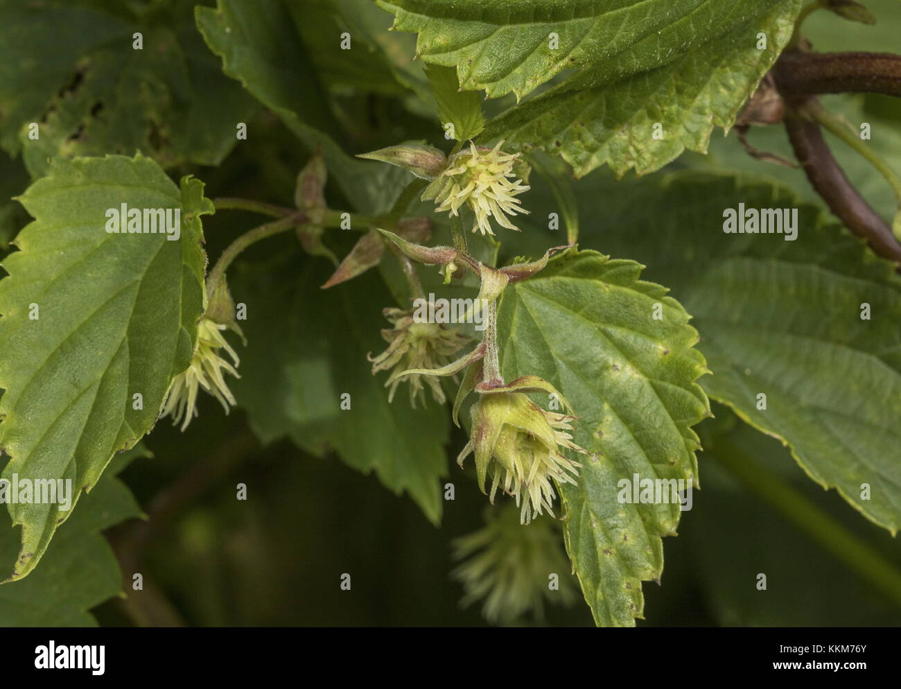 Hop, Humulus lupulus, female flowers with styles. - Stock Image