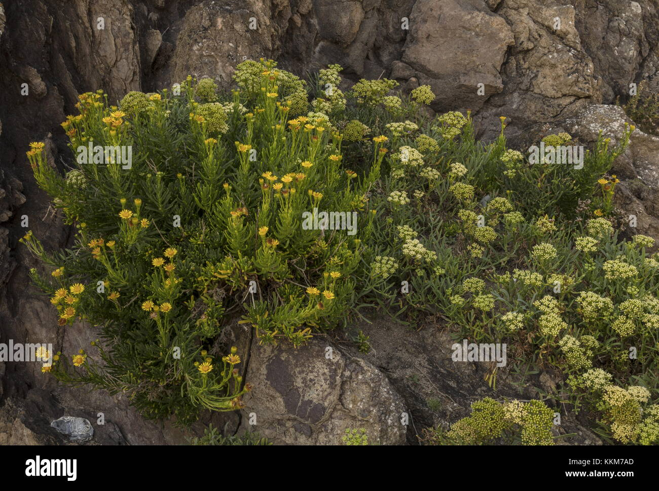 Golden Samphire, Inula crithmoides, with Rock Samphire, in flower on rocky coast, Anglesey. Stock Photo